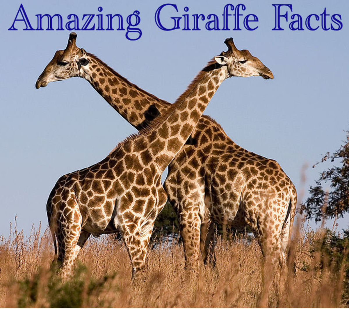 30 Giraffe Facts and Photos: Fun Animal Facts for Kids