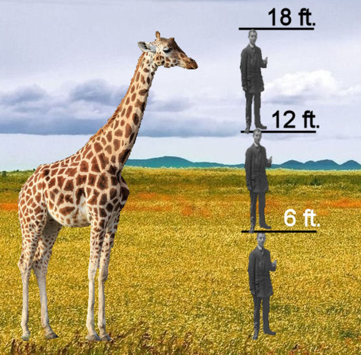 This is how tall some giraffes are