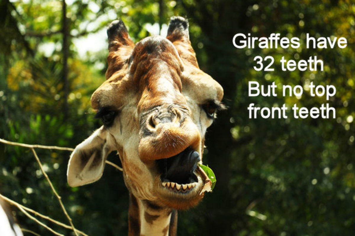 Giraffes have 32 teeth too!