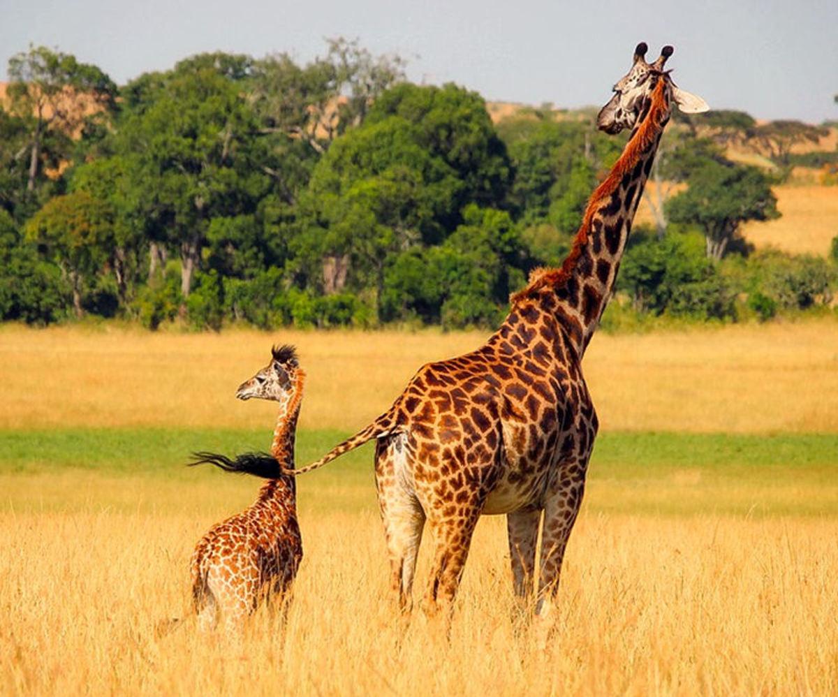 Mother and baby giraffe on savanna