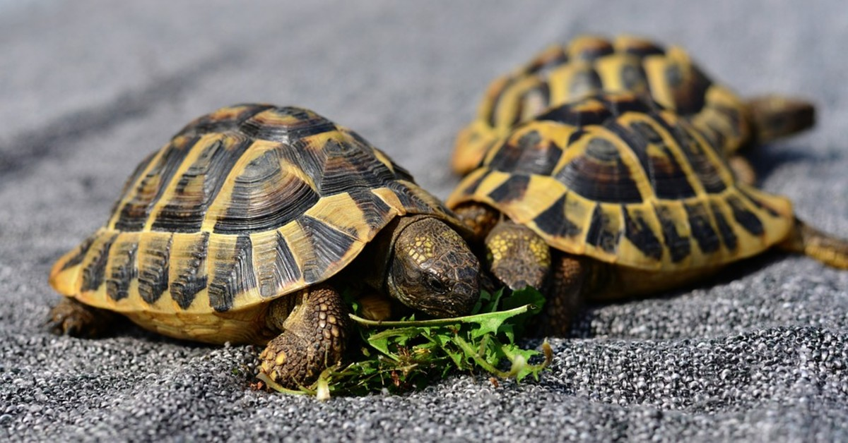 Top 8 Popular Pet Tortoise Types That Make Great Pets