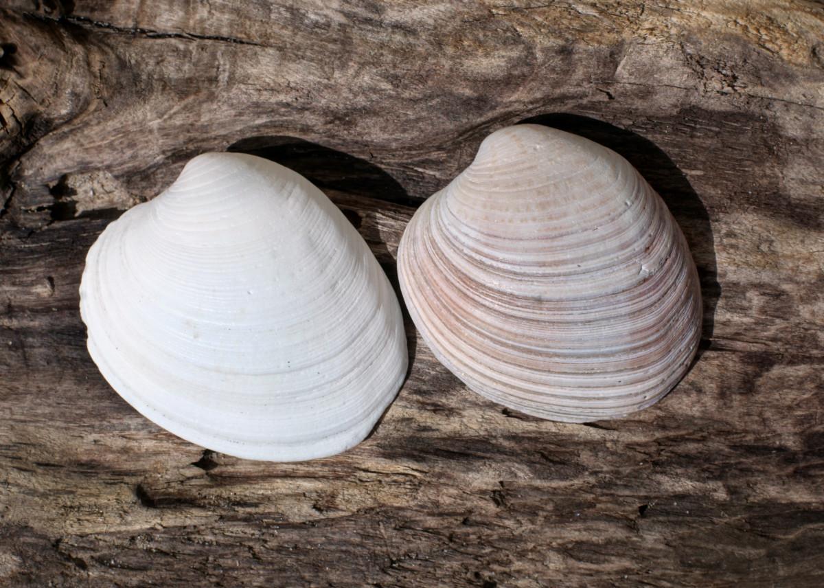 Southern Quahog Shells - Mercenaria campechiensis