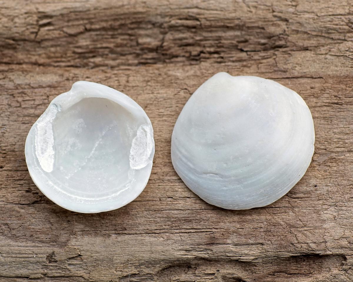 Florida Lucine Seashells - Pseudomiltha floridana