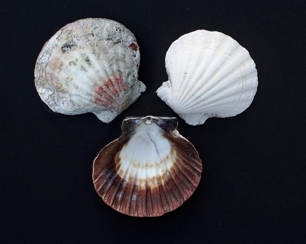 Lion's Paw Scallop Seashells - Nodipecten nodosus