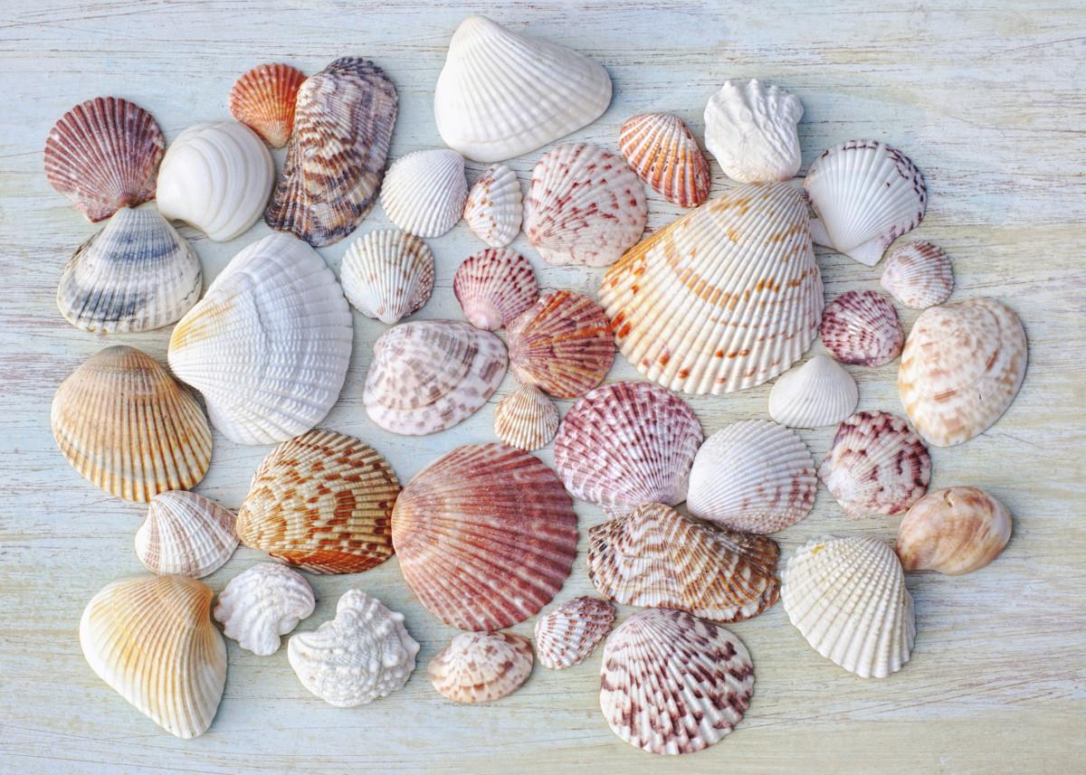 A Variety of Atlantic Coast and Gulf Coast Clam Shells