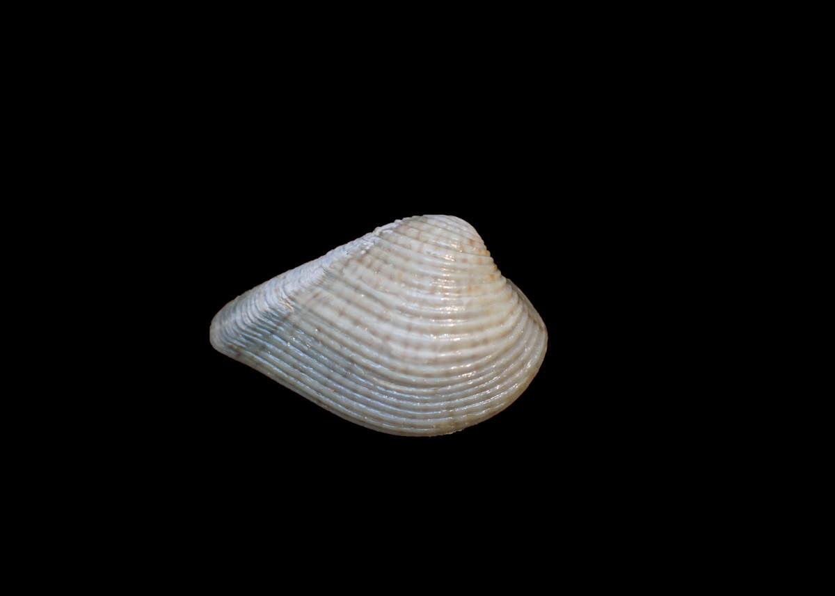 Speckled Tellin or Interrupted Tellin Seashells - Tellina listeri