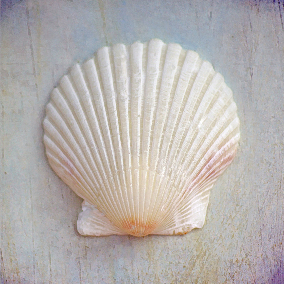Florida White Scallops Seashells