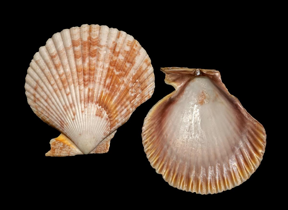 Zigzag Scallop Seashells - Euvola ziczac