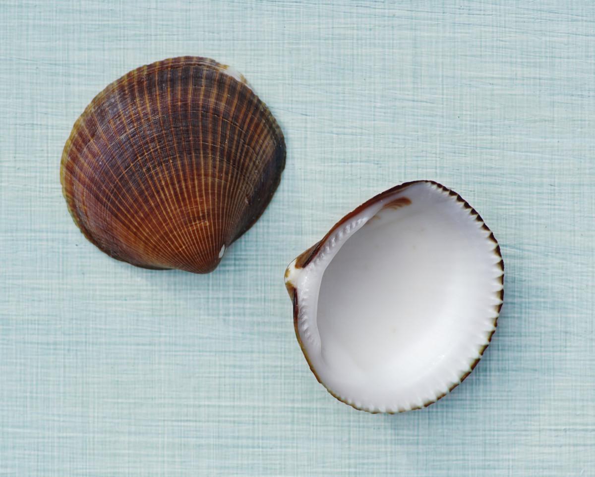 Princess Venus Clam Seashells - Periglypta listeri