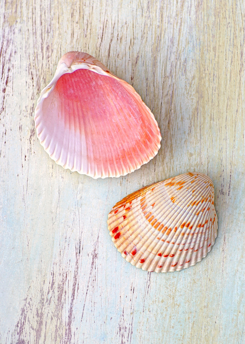 Atlantic Giant Cockle or Great Heart Cockle Shells - Dinocardium, robustum