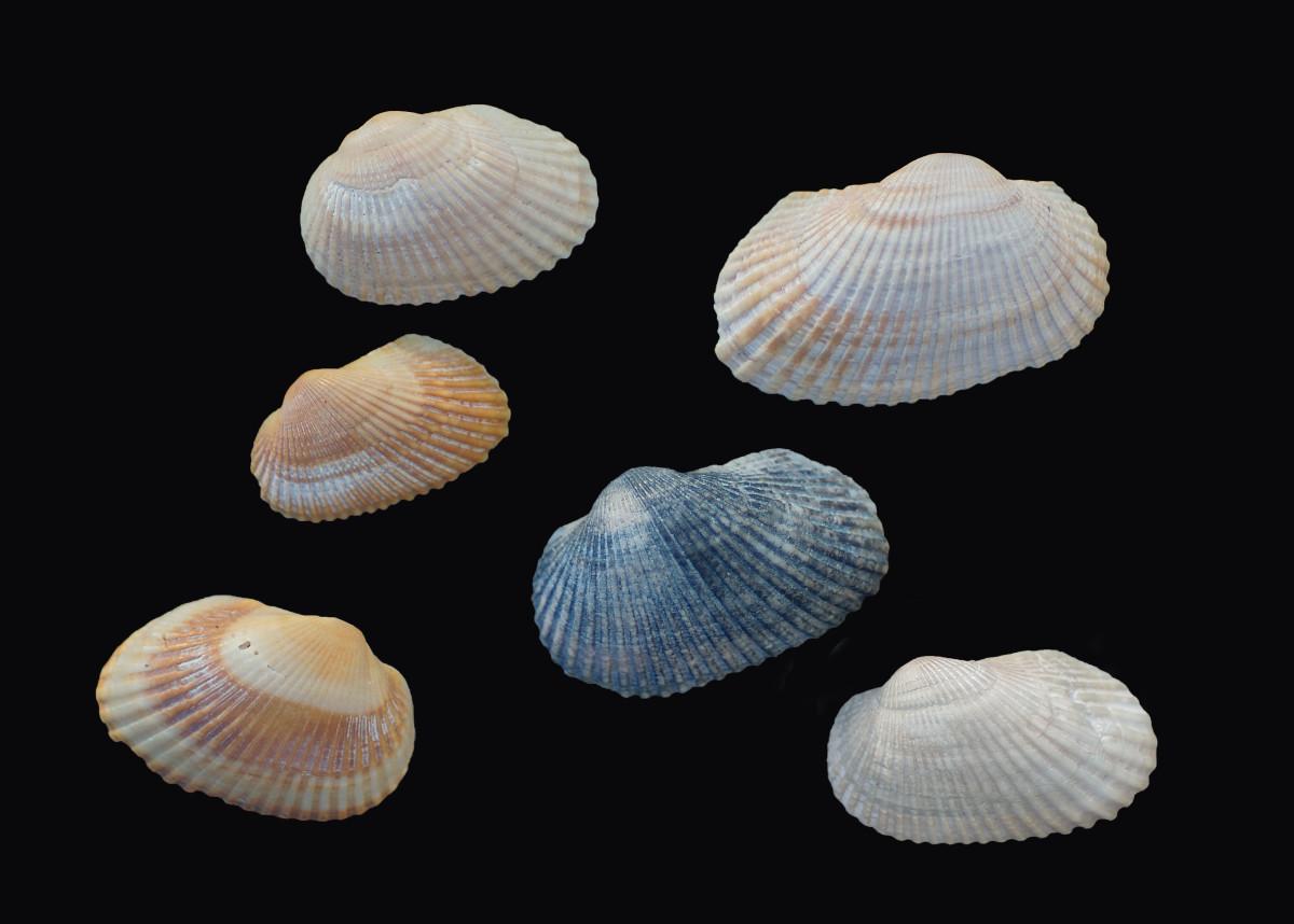 Tranverse Ark Seashells - Anadara transversa