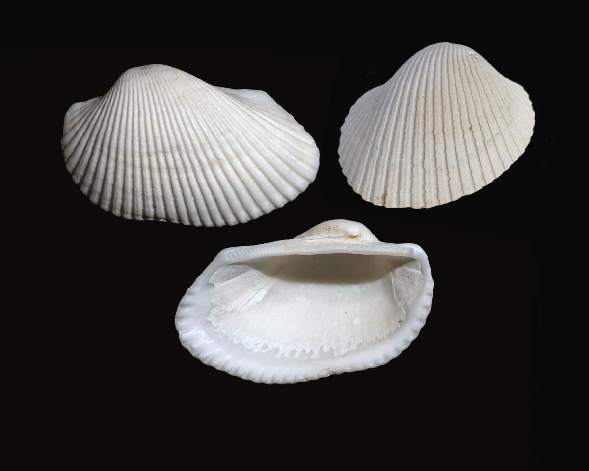 Cut Ribbed Ark Seashells- Anadara floridana