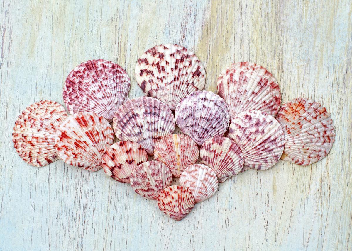 Calico Scallop Seashells - Argopecten gibbus