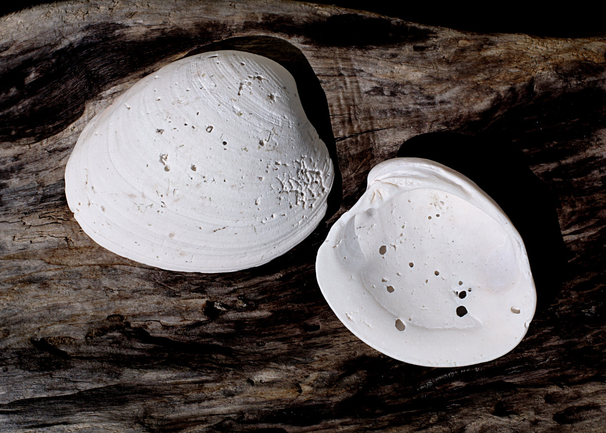 Southern Quahog Shells with Boreholes - Mercenaria campechiensis