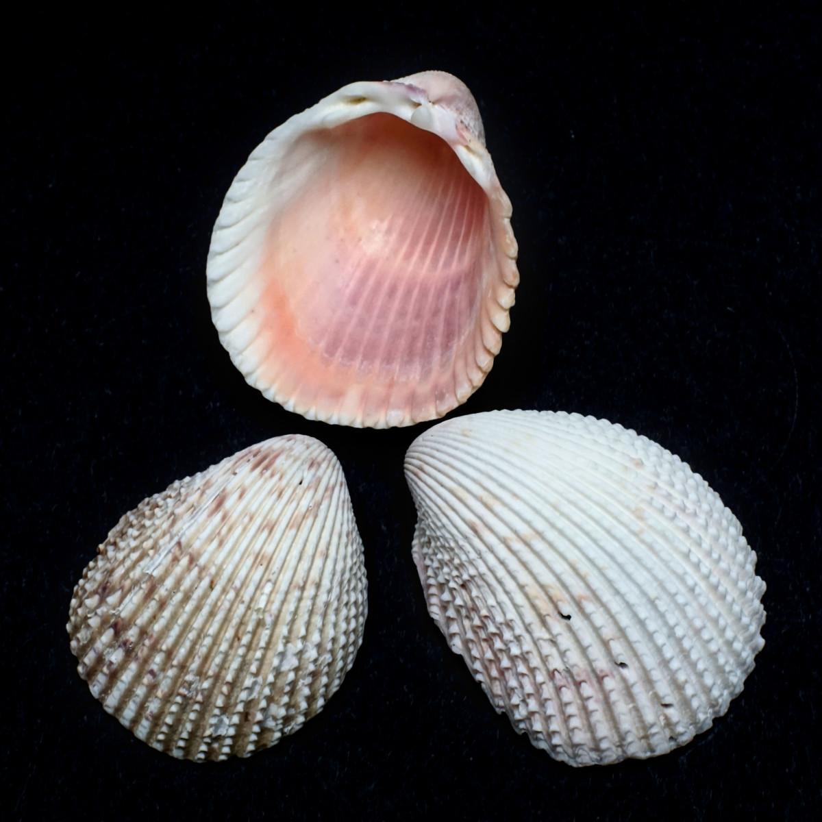 Florida Prickly Cockle Shells - Trachyardium egmontianum