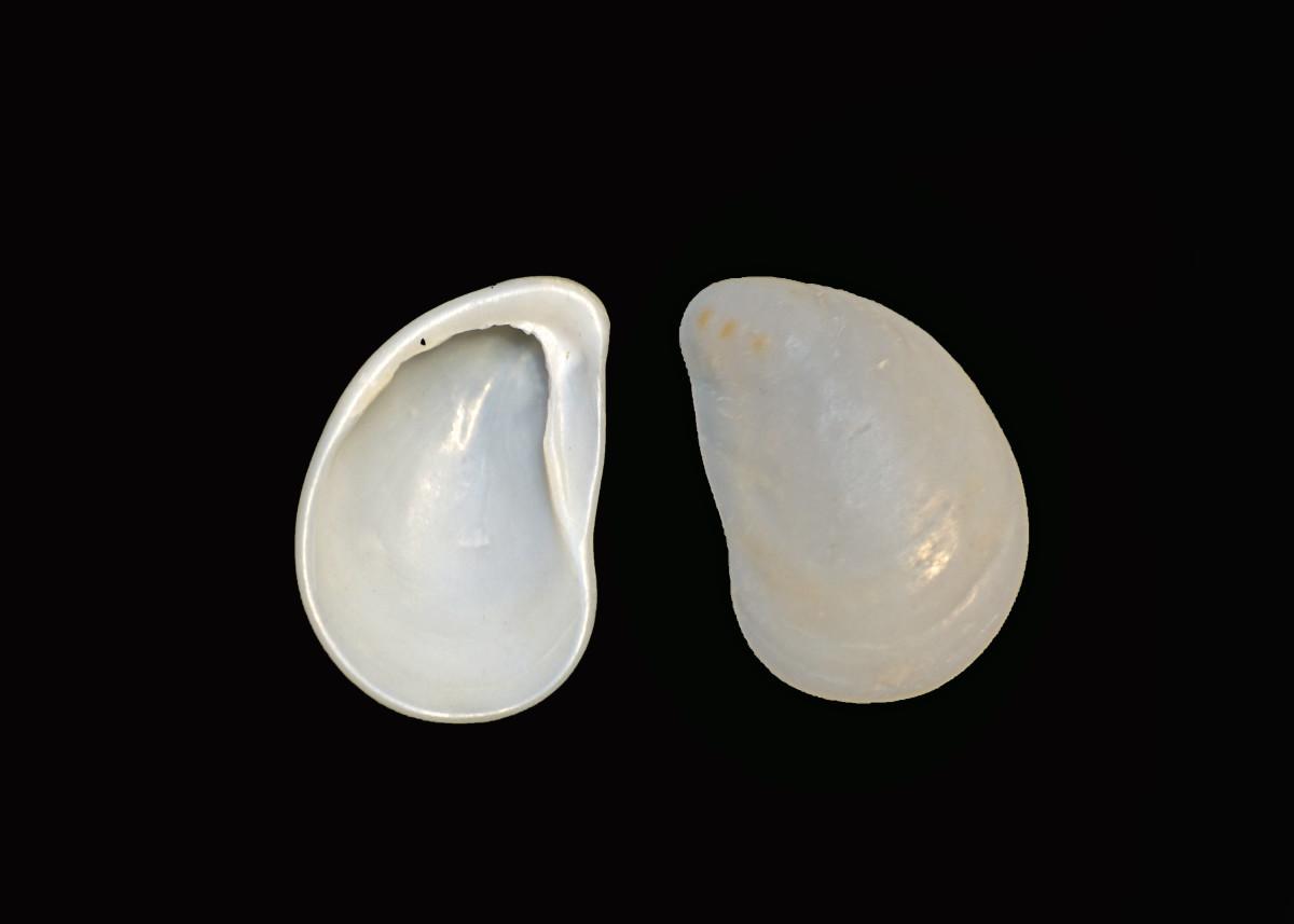 Egg Shell Cockle Seashells - Laevicardium laevigatum
