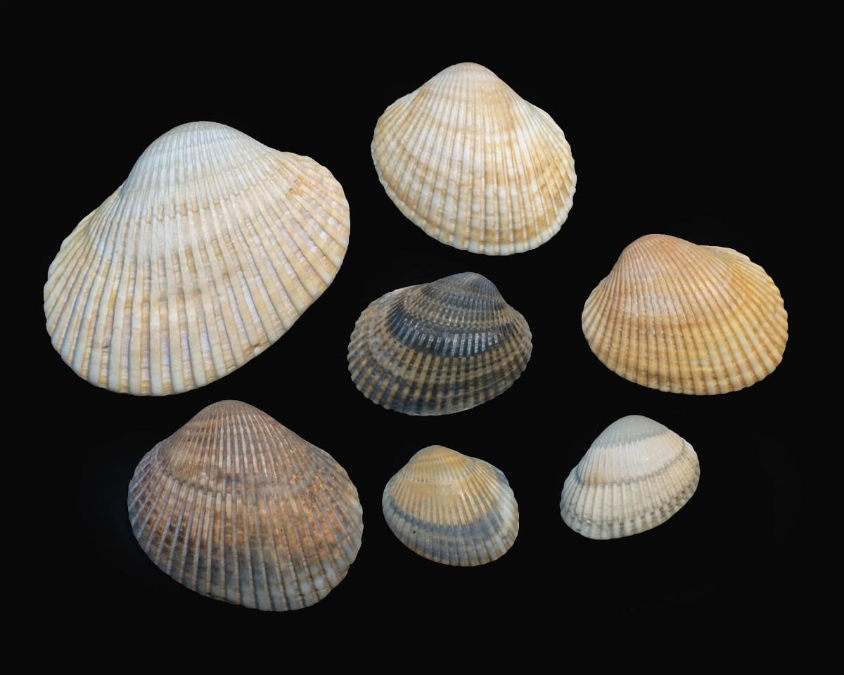 Blood Ark Seashells - Anadara, ovalis