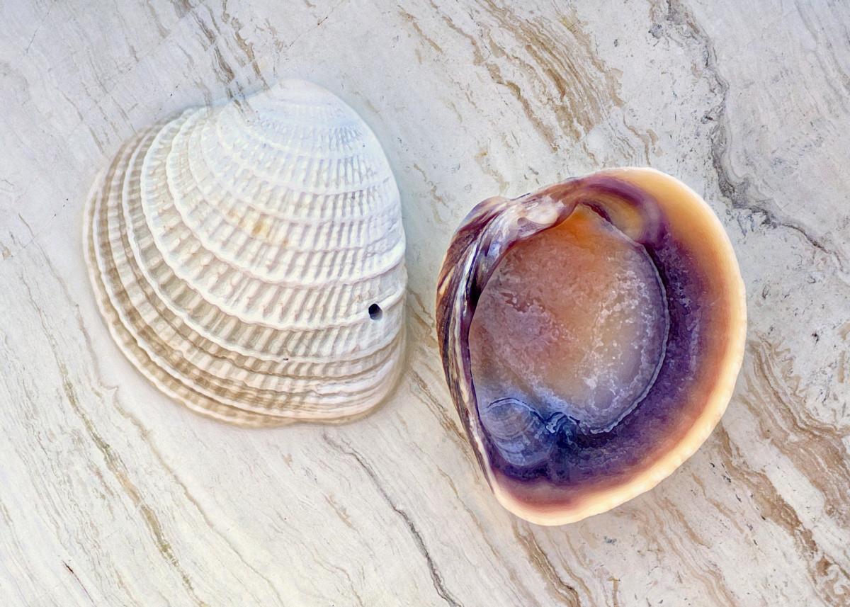 Cross Barred Venus Seashells - Chione cancellata