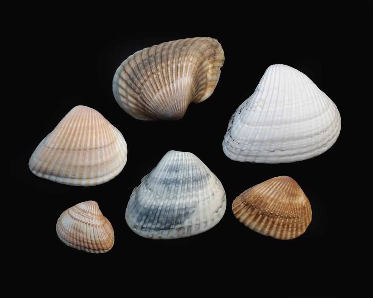 Ponderous Ark Shells -  Noetia ponderosa