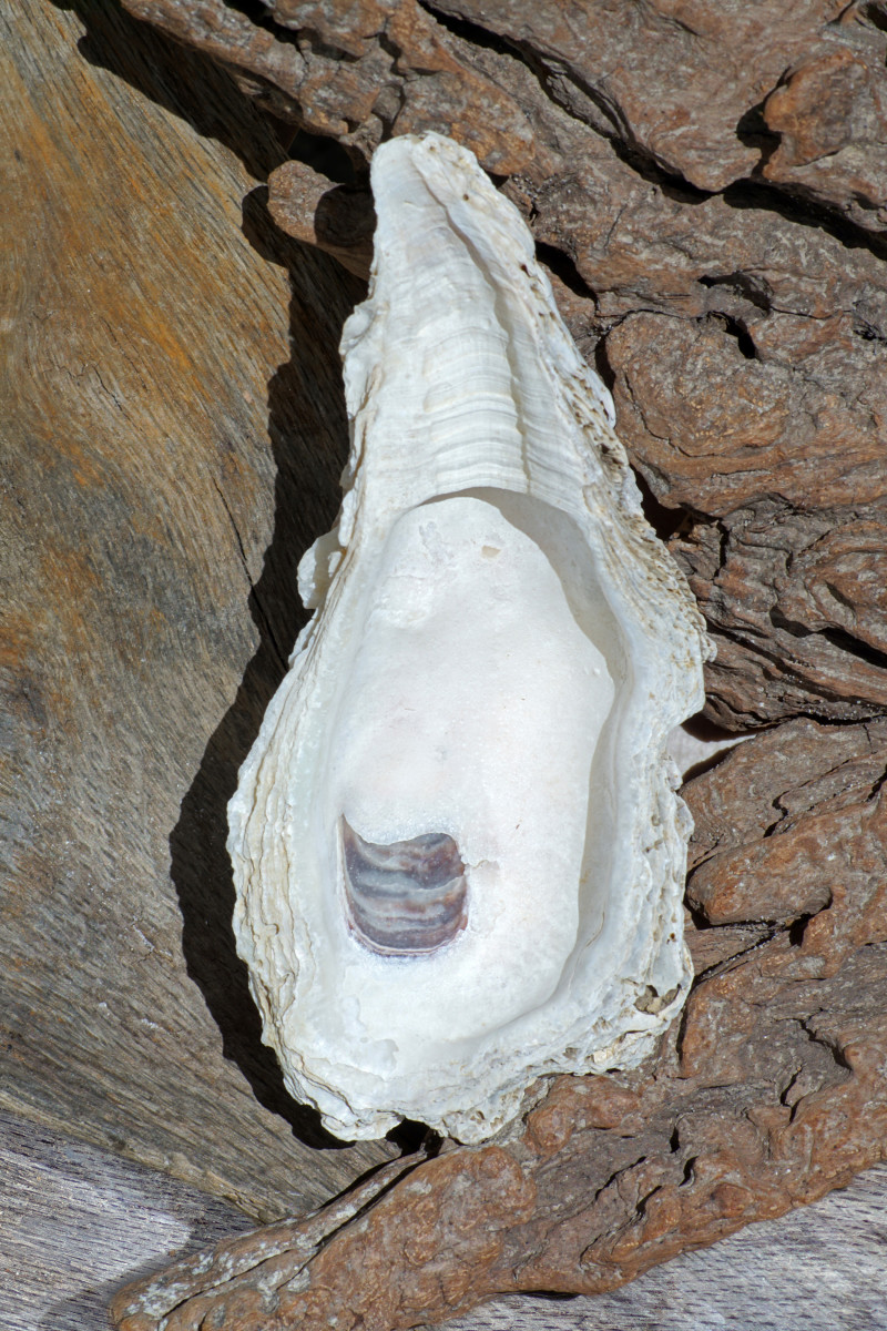 Eastern Oyster Interior