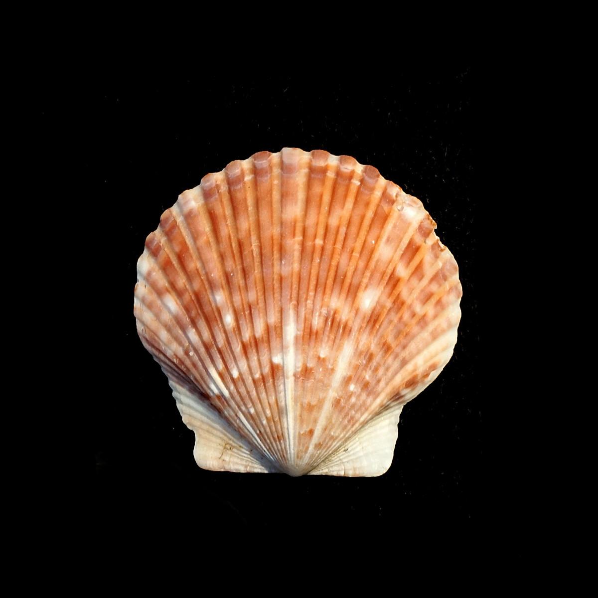 Calico Scallop Seashell - Argopecten gibbus