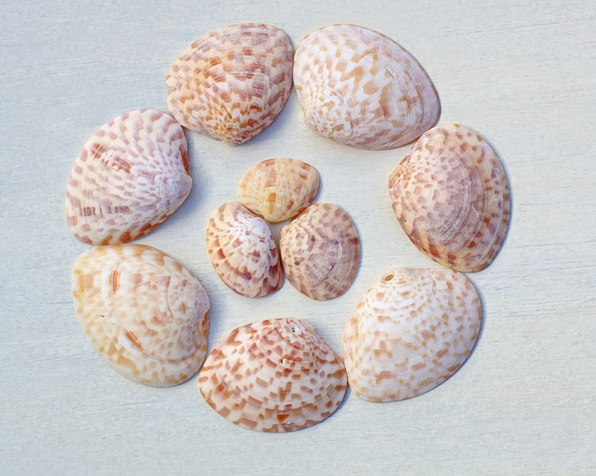 Calico Clam or Checkerboard Clam Shells - Macrocallista maculata