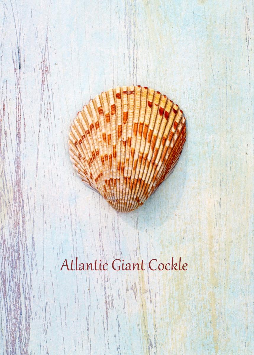 Atlantic Giant Cockle or Great Heart Cockle Seashells - Dinocardium, robustum