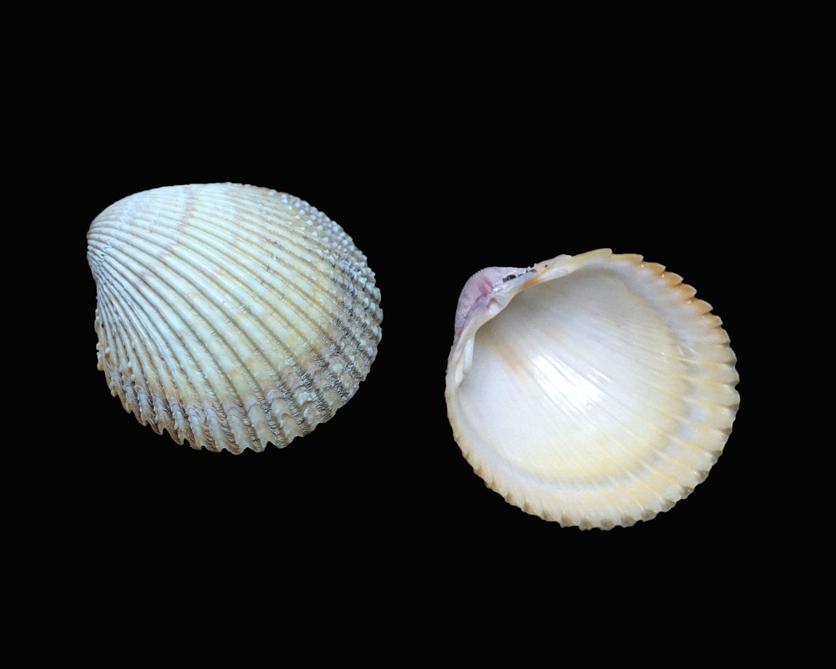 Yellow Prickly Cockle Shells - Trachycardium muricatum