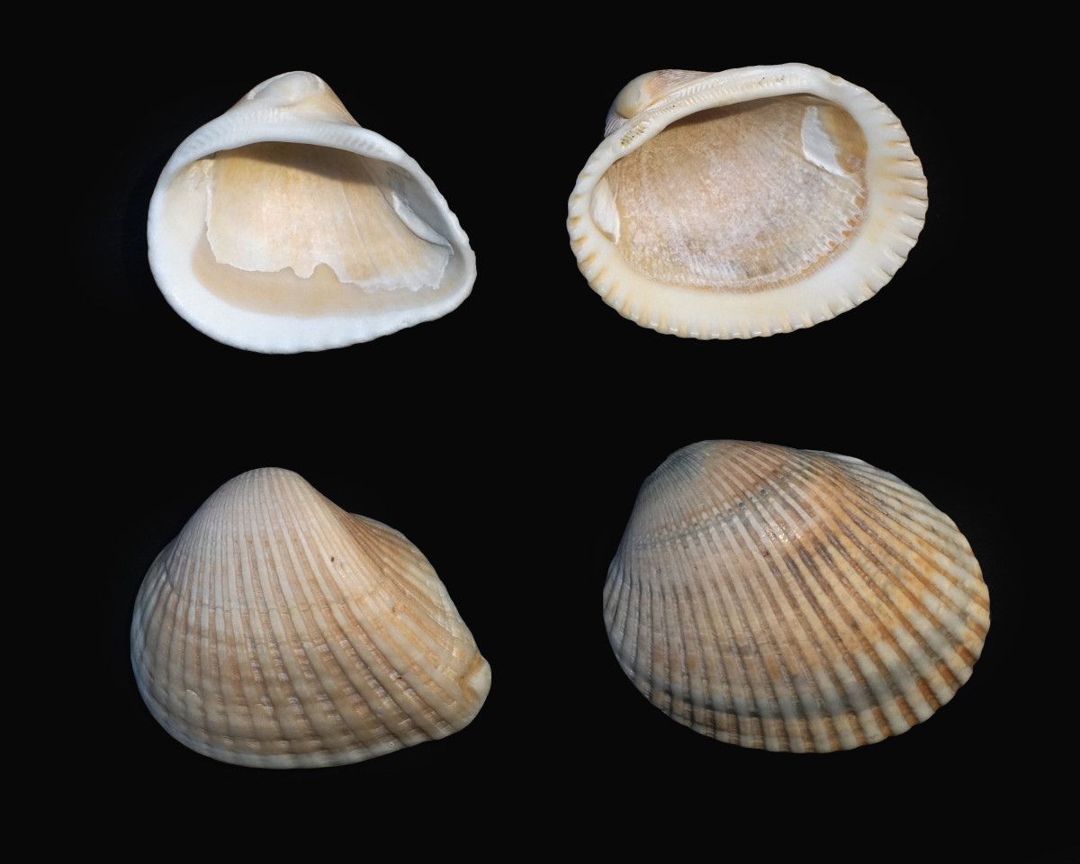 Comparison: Ponderous Ark Shells (left) and Blood Ark Shells (Right)
