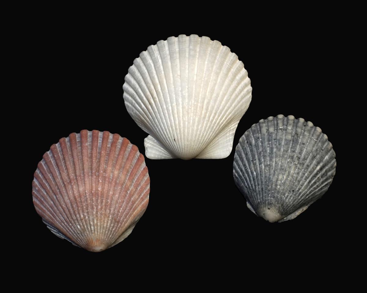 Bay Scallop Seashells - Argopecten irradians