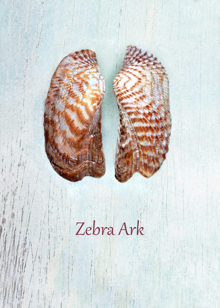 Turkey Wing, Zebra Ark or Noah's Ark Seashells - Arca zebra