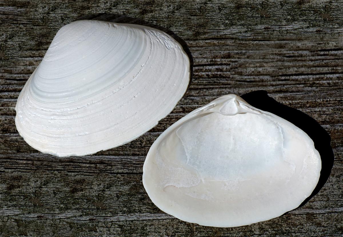 Atlantic Surf Clam Shell - Spisula solidissima