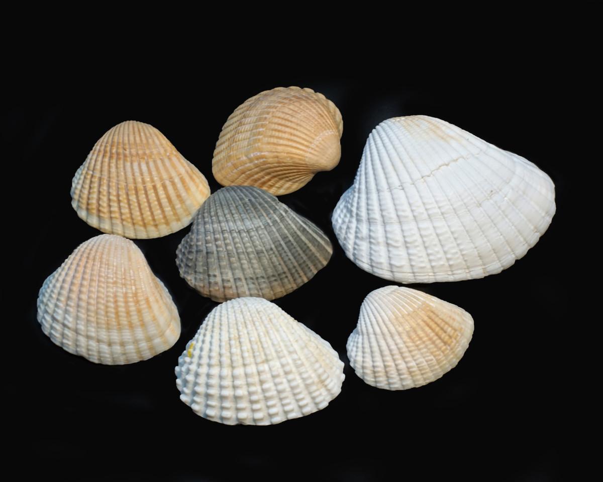 Incongruous Ark Shells - Scapharca brasiliana (formerly) Anadara brasiliana