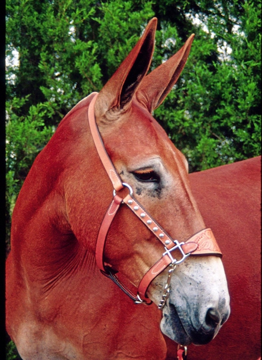 origin-and-history-of-mules-part-i