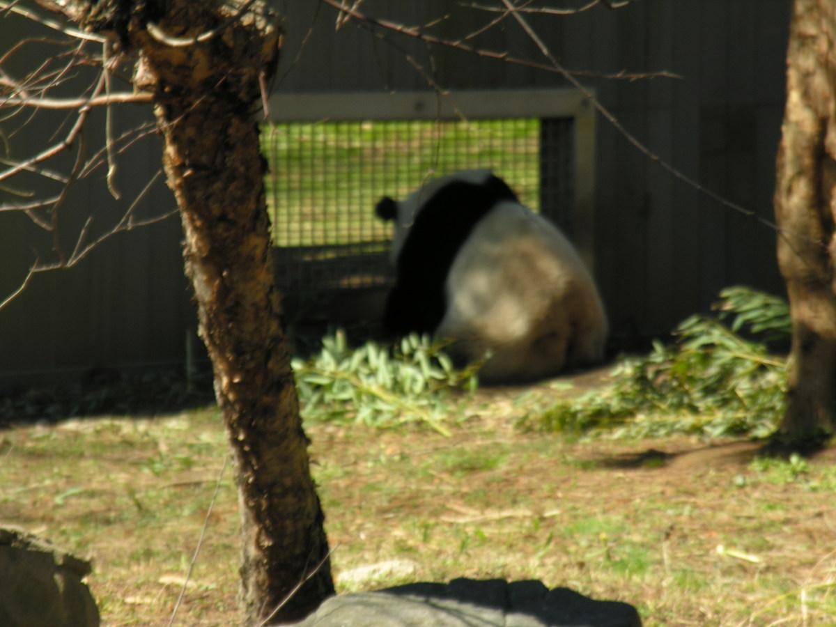 A panda March 2019