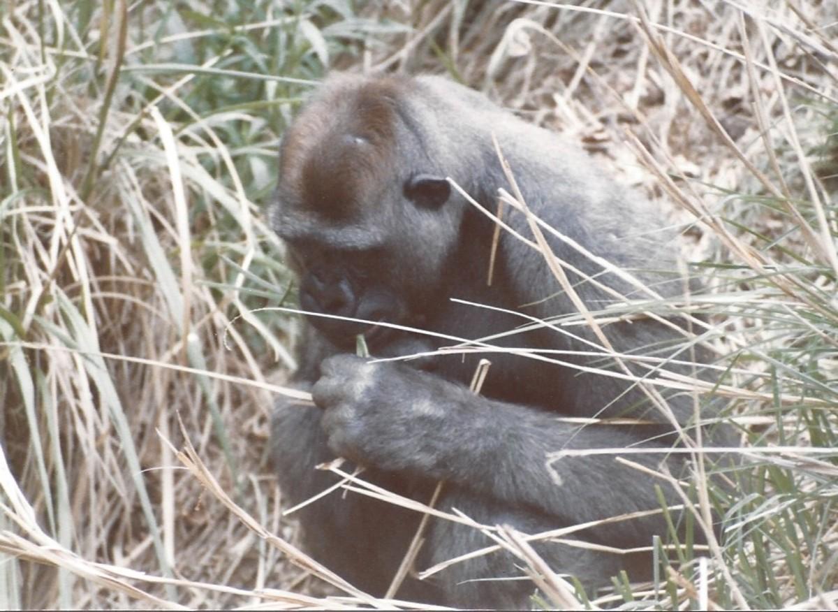 """A """"silver back"""" gorilla"""