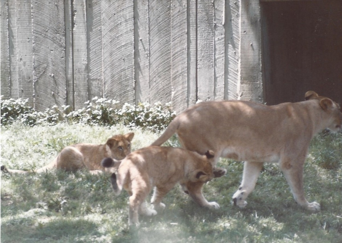 A lioness and her cubs.