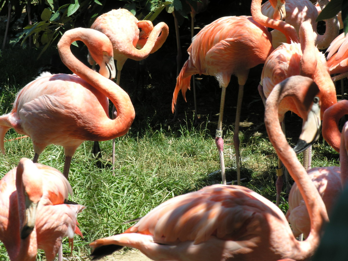 Flamingos at an outdooer exhibit, July 2008