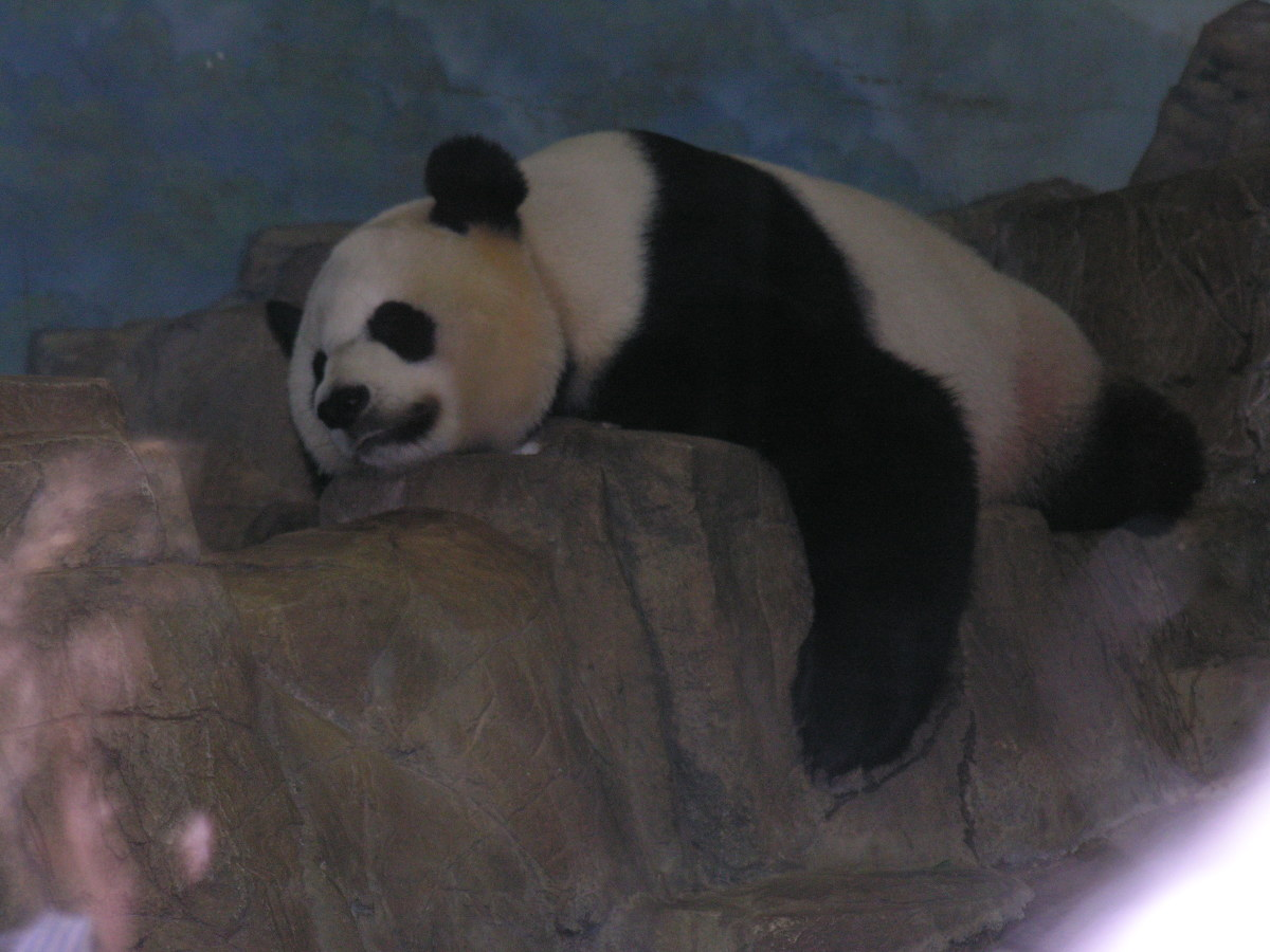 A Panda at the National Zoo, July 2008.