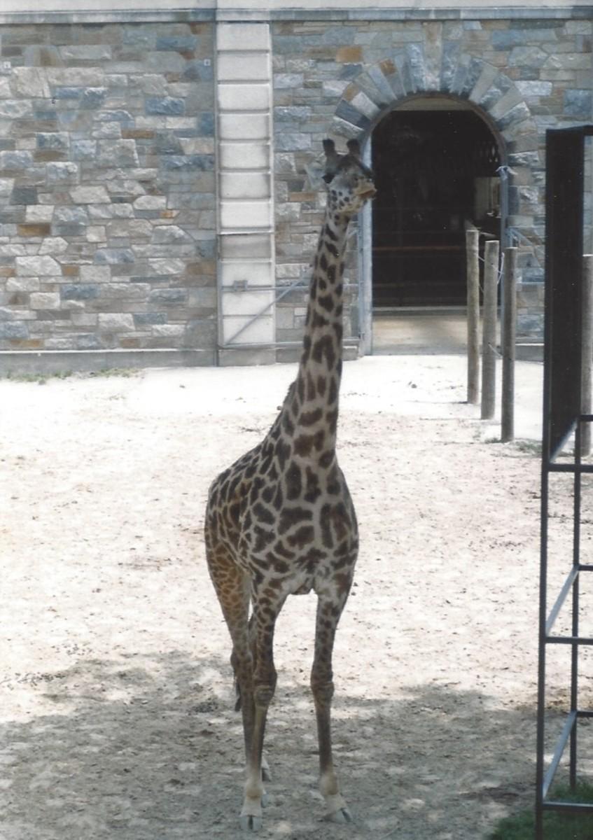 A giraffe at its outdoor enclosure before renovation.