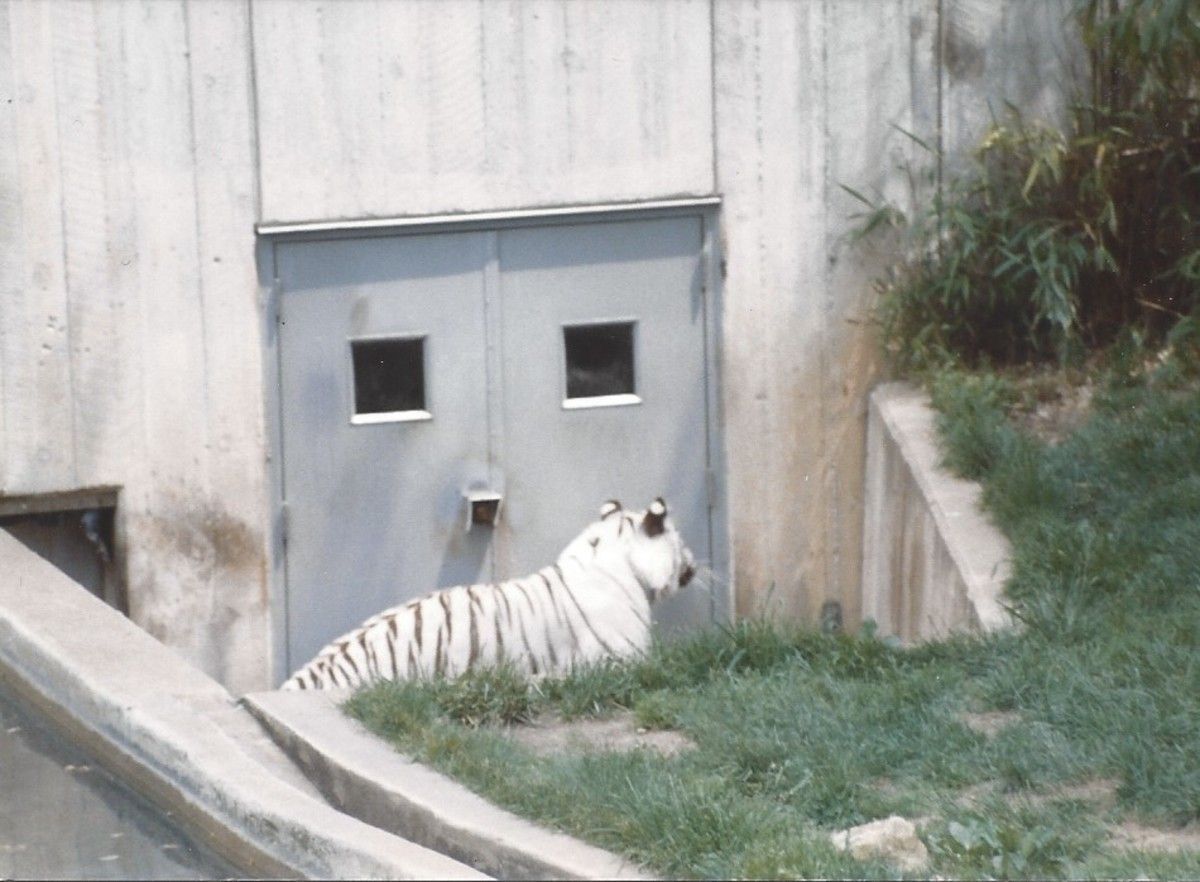 The white tiger waiting for meal time.