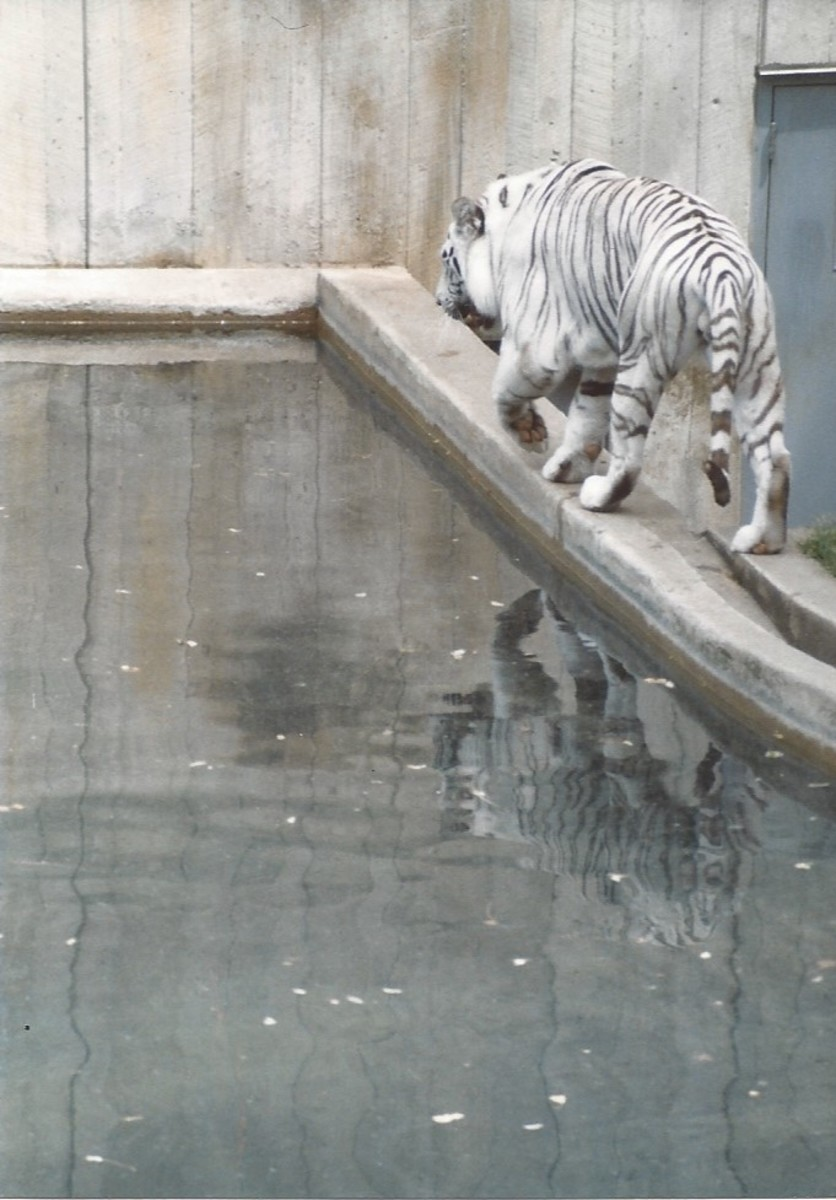 Rear view of white tiger.