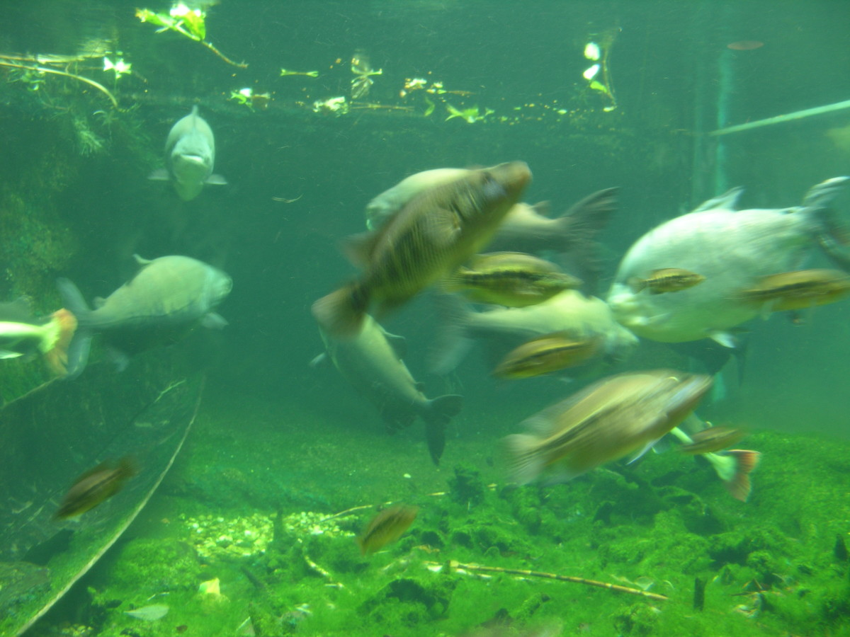 The large tank at the Amizonia exhibit, July 2008.