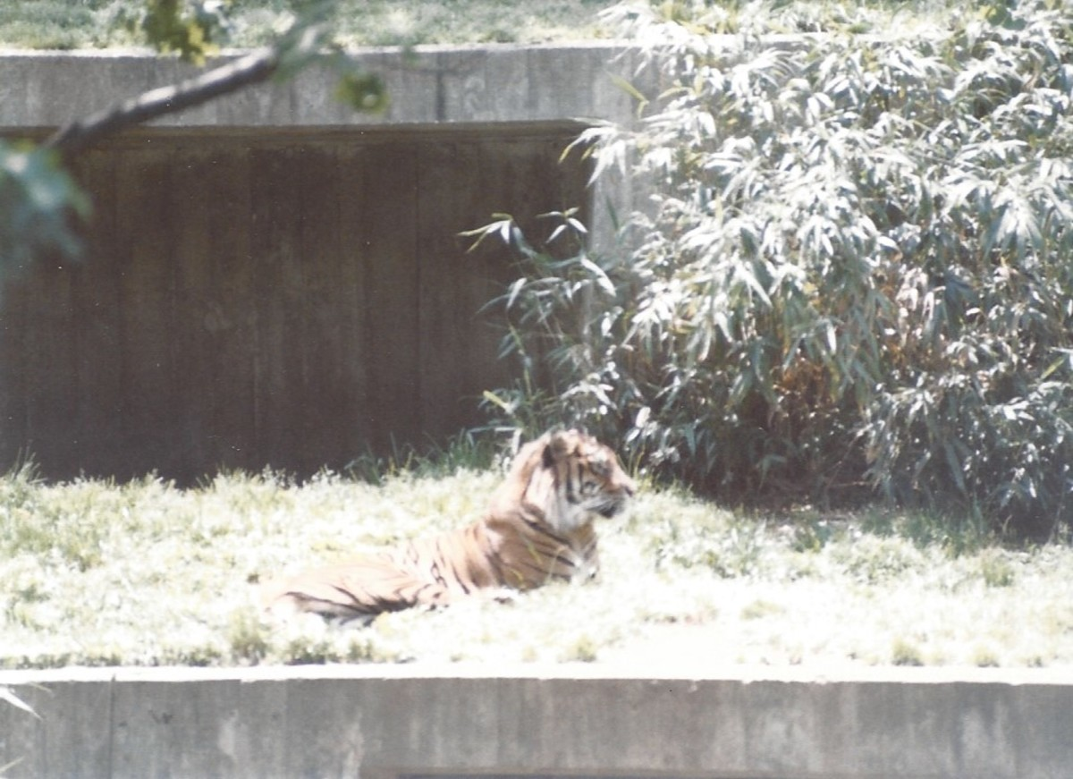 A tiger in the grass.