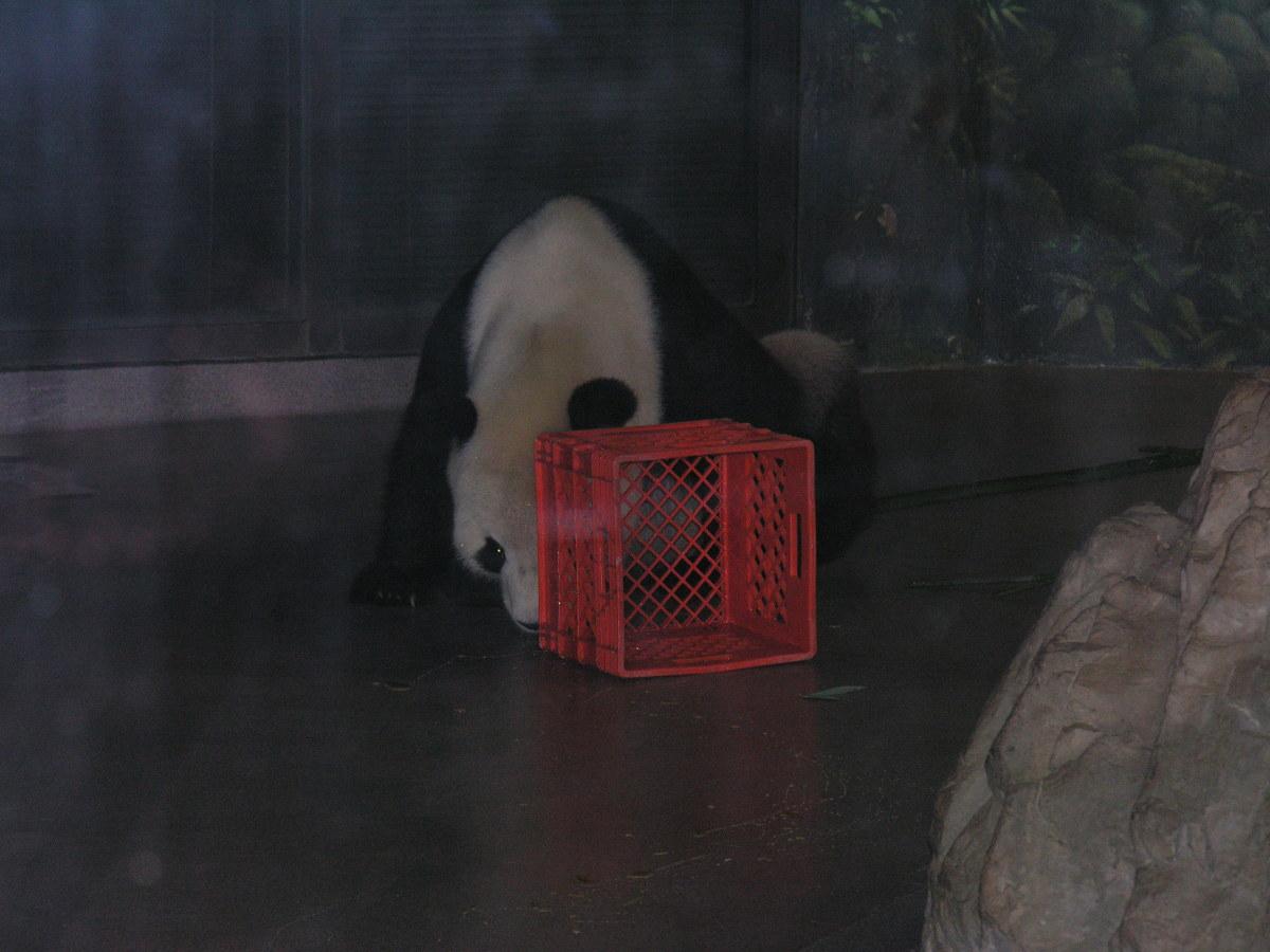 A panda indooors at the National Zoo, July 2008.