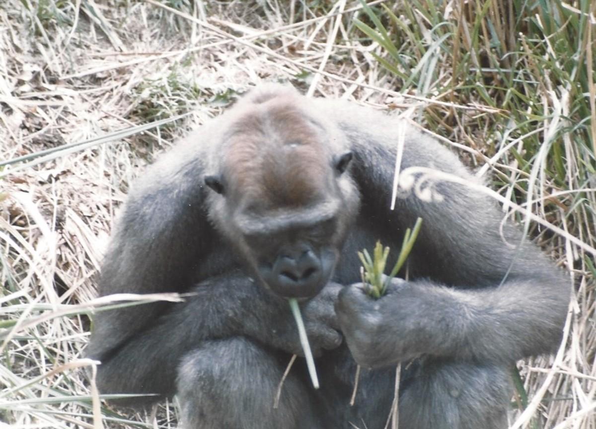 A closeup of a gorilla at the outdoor enclosure.
