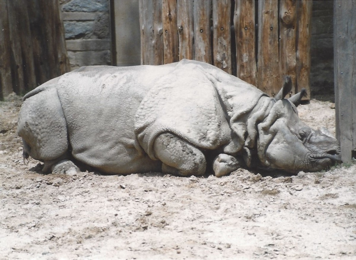 A rhinocerous at its outdoor enclosure, before renovation.