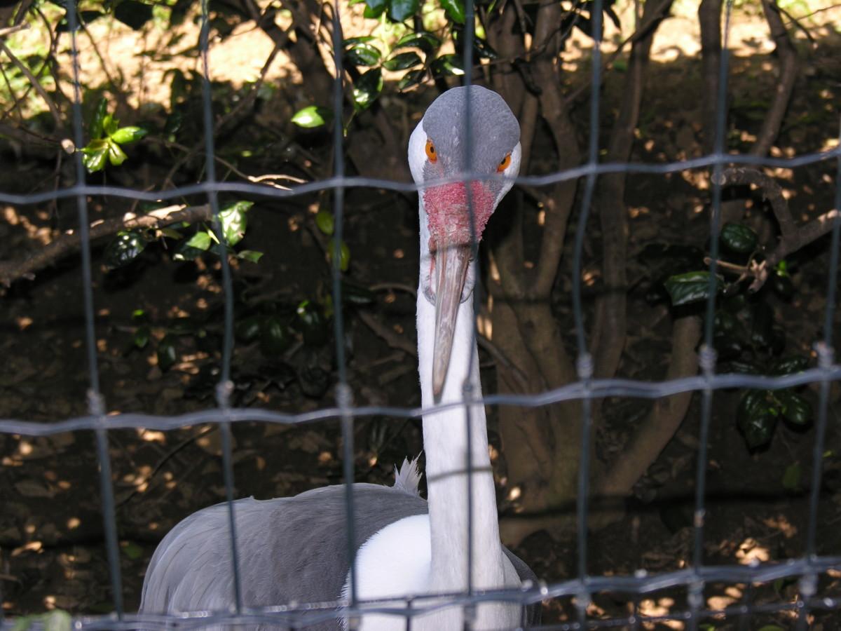 A large flightless bird at an outdoor exhibit, July 2008.
