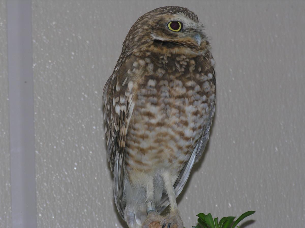 An owl at the bird exhibit, July 2008
