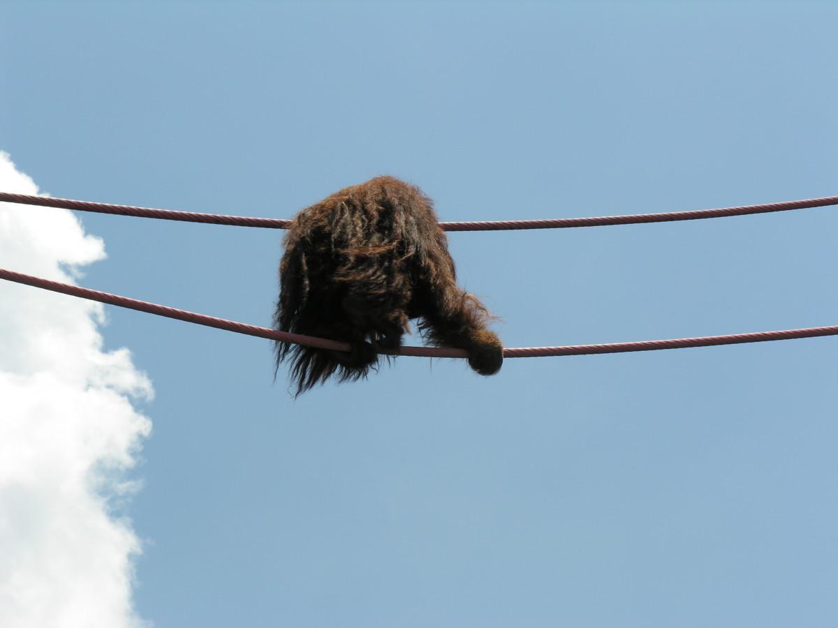 An orangatang on the O-line, July 2008